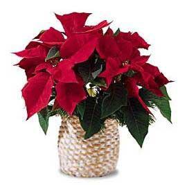 圣诞一品红