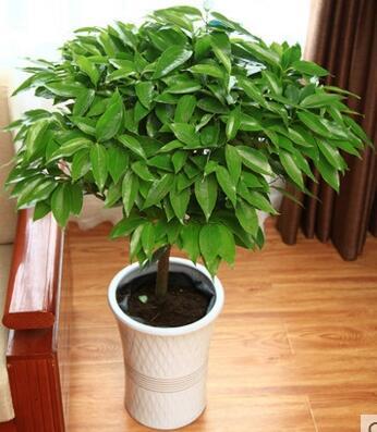 大型绿植平安树盆栽